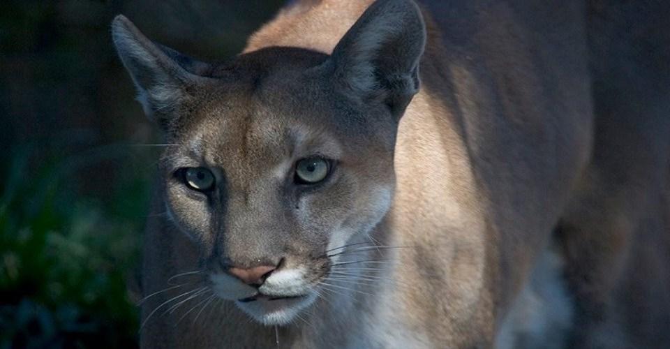 Florida Panther | Everglades National Park | Snag-A-Slip
