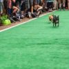 Chihuahuas Racing | Running of the Chihuahuas | Snag-A-Slip