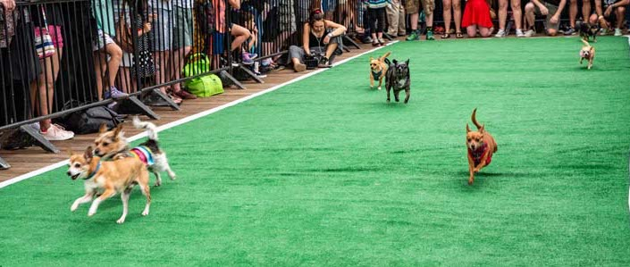 Running of the Chihuahuas at The Wharf