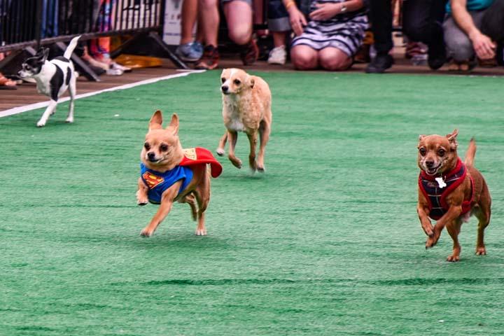 Superman Chihuahua Racing | Running of the Chihuahuas | Snag-A-Slip