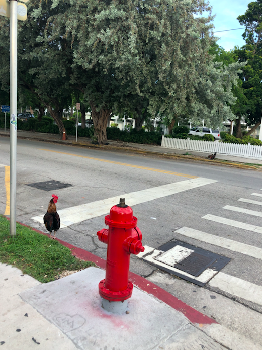 Key West Spotlight | Chicken crossing the road | Key West, FL | Snag-A-Slip