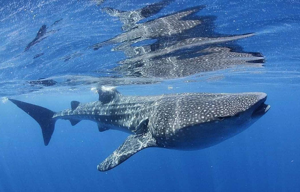 Whale Shark | Earth Day | Snag-A-Slip